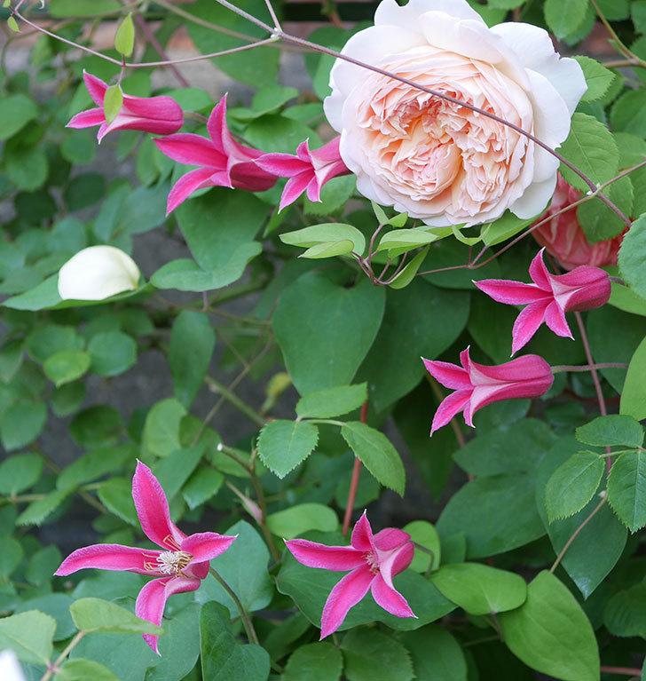 プリンセス・ダイアナ(テキセンシス系-新枝咲き)の花がたくさん咲いた。2020年-6.jpg