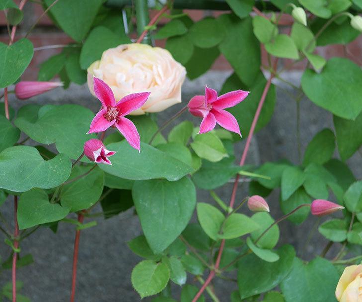 プリンセス・ダイアナ(テキセンシス系-新枝咲き)の花がたくさん咲いた。2020年-7.jpg