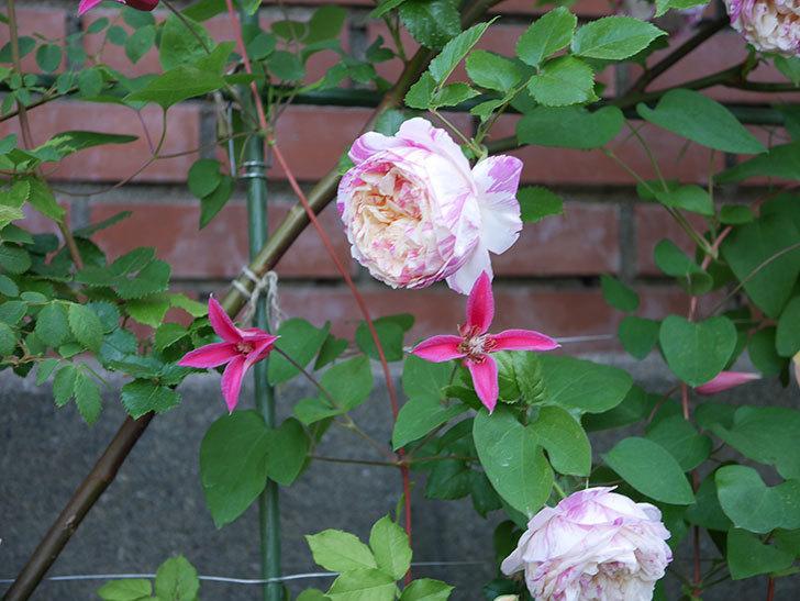 プリンセス・ダイアナ(テキセンシス系-新枝咲き)の花がたくさん咲いた。2020年-8.jpg
