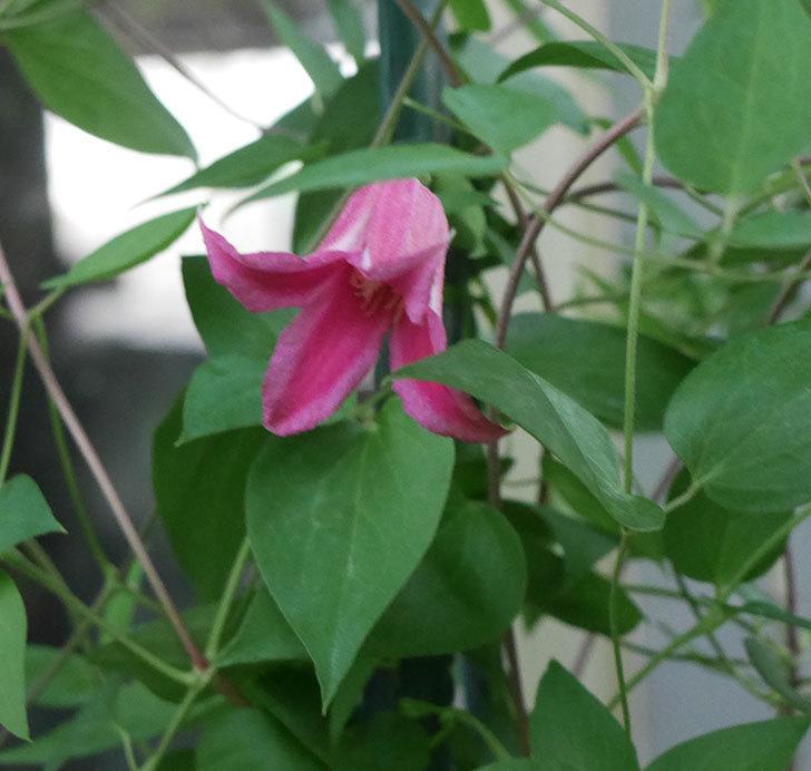 プリンセス・ダイアナ(テキセンシス系-新枝咲き)の花が咲いた。2019年-6.jpg
