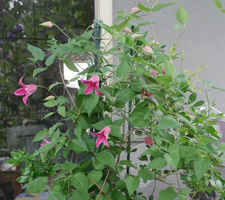 プリンセス・ダイアナ(テキセンシス系-新枝咲き)の花が咲いた。2019年-8.jpg