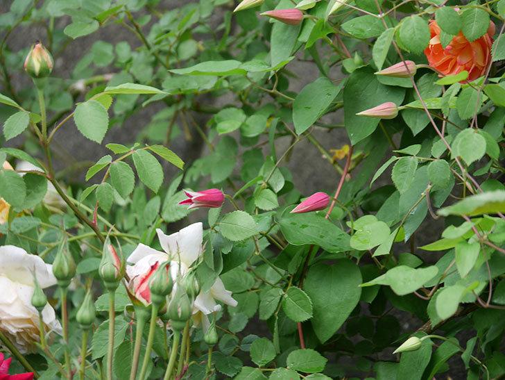 プリンセス・ダイアナ(テキセンシス系-新枝咲き)の花が咲きだした。2020年-2.jpg