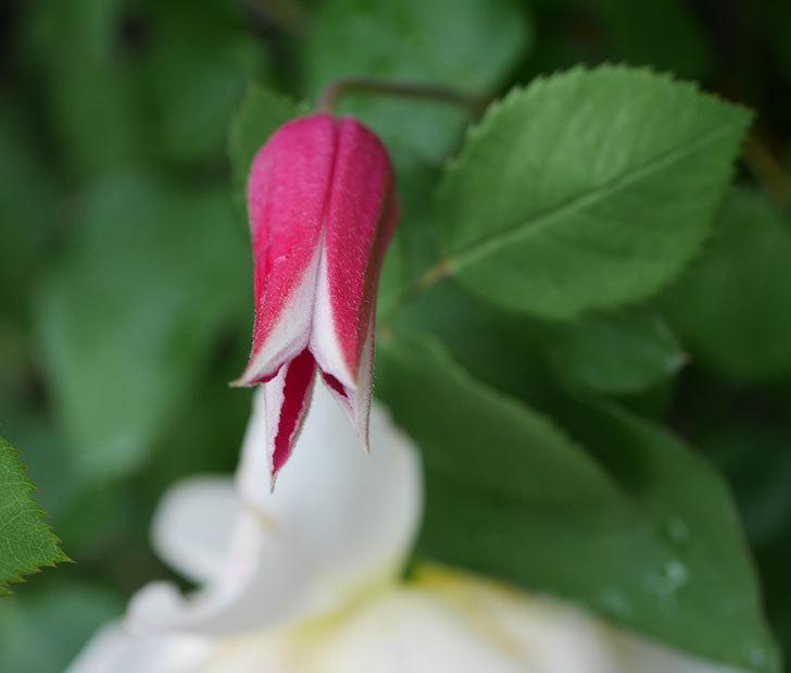 プリンセス・ダイアナ(テキセンシス系-新枝咲き)の花が咲きだした。2020年-4.jpg