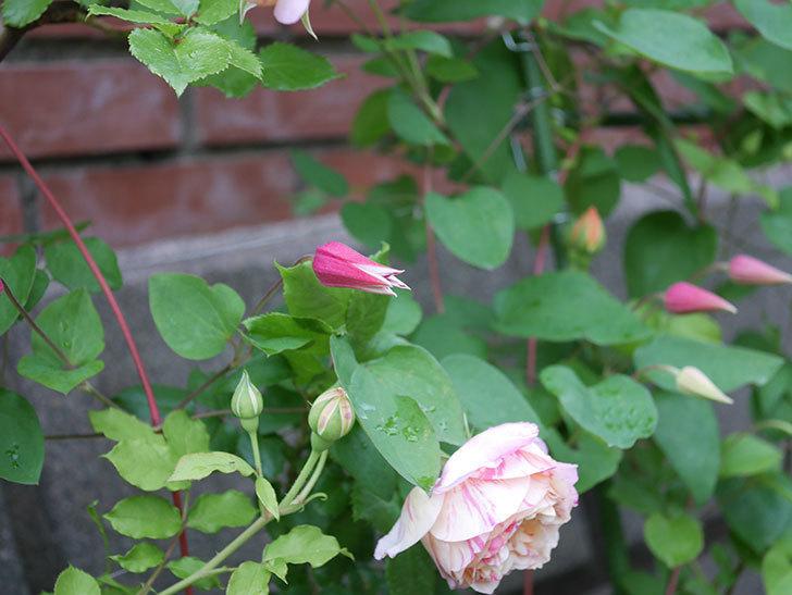 プリンセス・ダイアナ(テキセンシス系-新枝咲き)の花が咲きだした。2020年-5.jpg