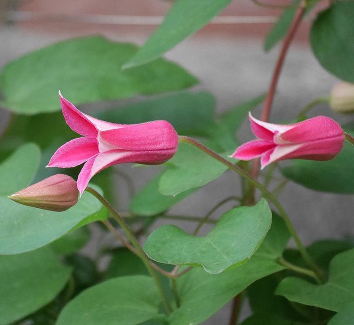 プリンセス・ダイアナ(テキセンシス系-新枝咲き)の花が増えてきた。2020年-1.jpg