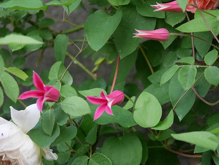 プリンセス・ダイアナ(テキセンシス系-新枝咲き)の花が増えてきた。2020年-10.jpg