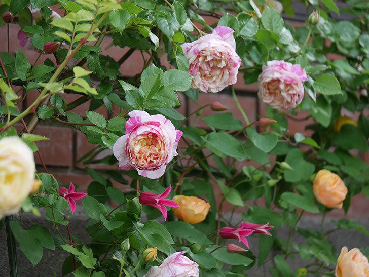 プリンセス・ダイアナ(テキセンシス系-新枝咲き)の花が増えてきた。2020年-11.jpg