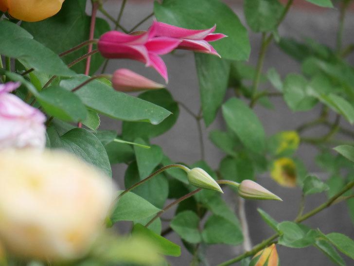 プリンセス・ダイアナ(テキセンシス系-新枝咲き)の花が増えてきた。2020年-13.jpg