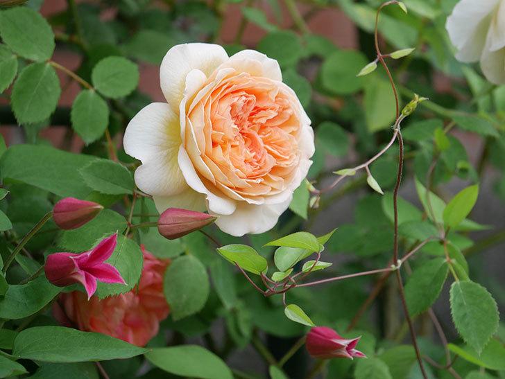 プリンセス・ダイアナ(テキセンシス系-新枝咲き)の花が増えてきた。2020年-14.jpg