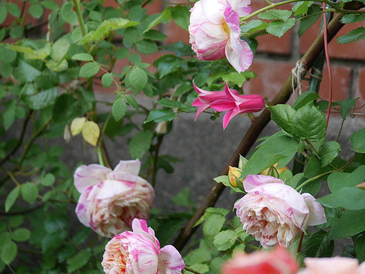 プリンセス・ダイアナ(テキセンシス系-新枝咲き)の花が増えてきた。2020年-2.jpg