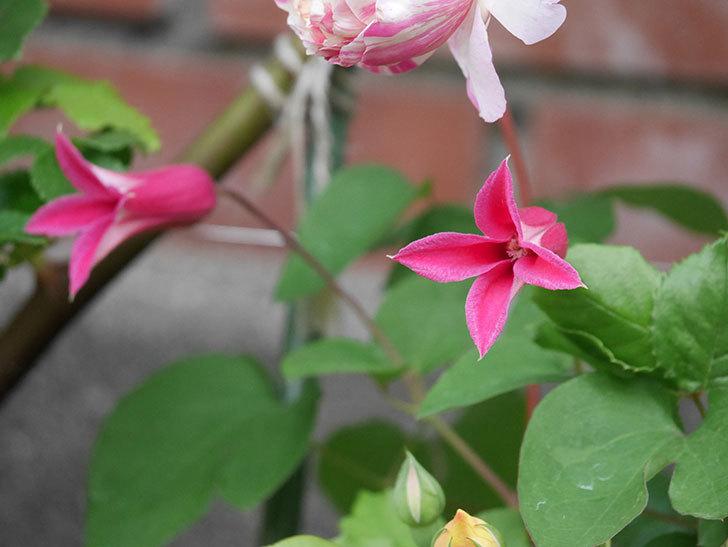 プリンセス・ダイアナ(テキセンシス系-新枝咲き)の花が増えてきた。2020年-4.jpg