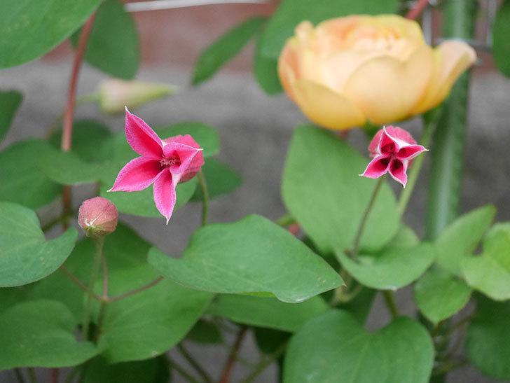 プリンセス・ダイアナ(テキセンシス系-新枝咲き)の花が増えてきた。2020年-6.jpg