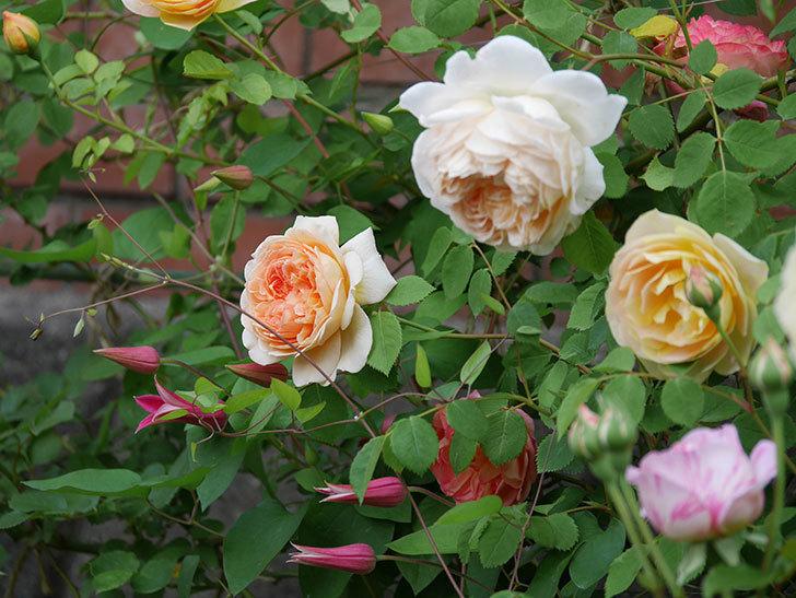 プリンセス・ダイアナ(テキセンシス系-新枝咲き)の花が増えてきた。2020年-7.jpg