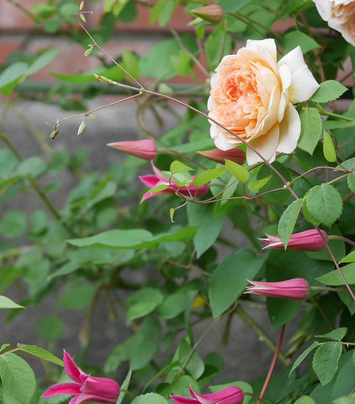 プリンセス・ダイアナ(テキセンシス系-新枝咲き)の花が増えてきた。2020年-8.jpg