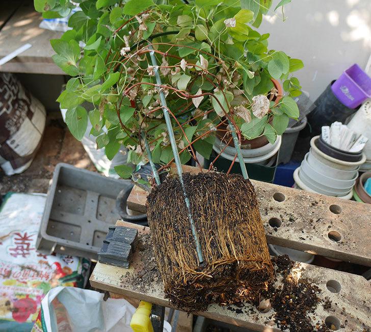 プリンセス・ダイアナ(テキセンシス系-新枝咲き)を植え換えて誘引し直した。2019年-1.jpg
