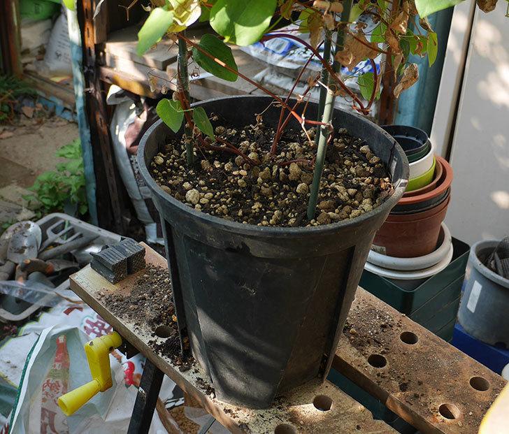 プリンセス・ダイアナ(テキセンシス系-新枝咲き)を植え換えて誘引し直した。2019年-4.jpg