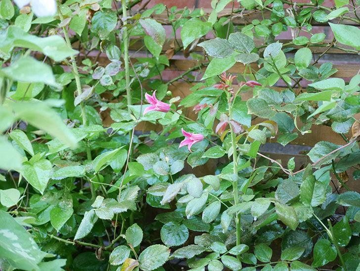 プリンセス・ダイアナ(テキセンシス系 新枝咲き)の2番花が咲いた。2021年-001.jpg