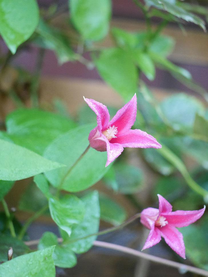 プリンセス・ダイアナ(テキセンシス系 新枝咲き)の2番花が咲いた。2021年-009.jpg