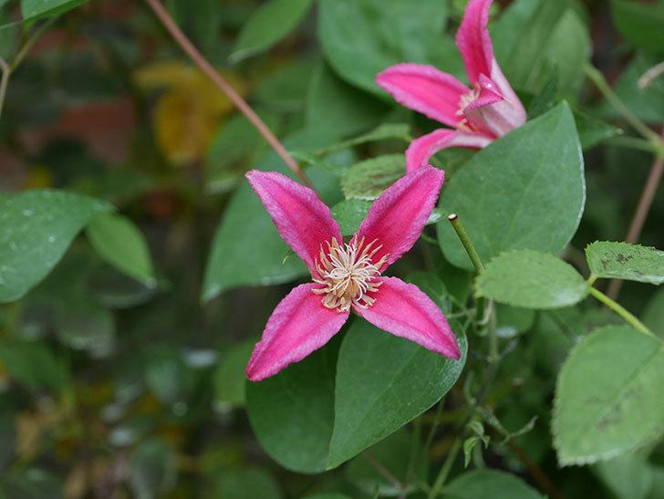 プリンセス・ダイアナ(テキセンシス系 新枝咲き)の2番花が増えてきた。2020年-005.jpg