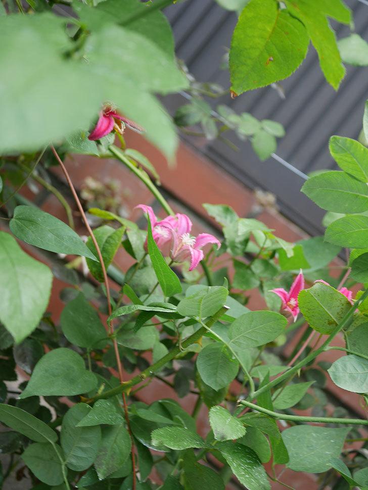 プリンセス・ダイアナ(テキセンシス系 新枝咲き)の2番花が増えてきた。2020年-025.jpg
