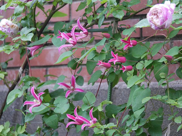 プリンセス・ダイアナ(テキセンシス系 新枝咲き)の花がまた増えてきた。2020年-007.jpg