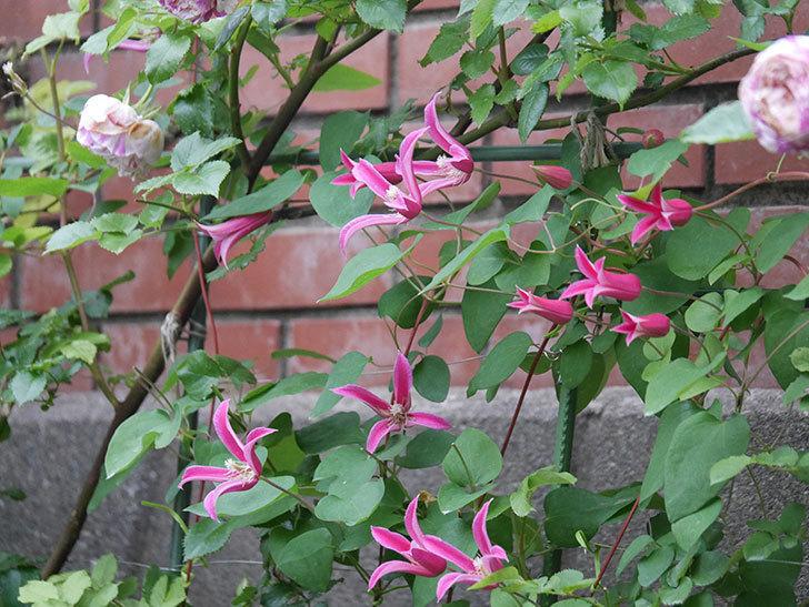 プリンセス・ダイアナ(テキセンシス系 新枝咲き)の花がまた増えてきた。2020年-008.jpg