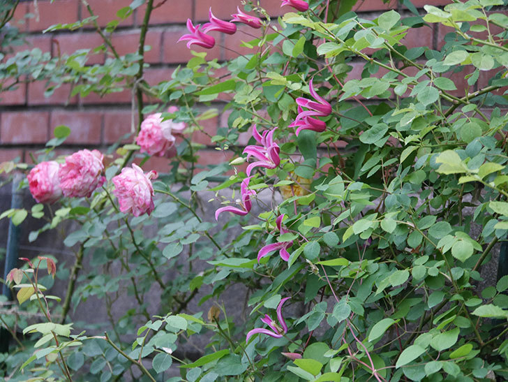 プリンセス・ダイアナ(テキセンシス系 新枝咲き)の花がまた増えてきた。2020年-009.jpg