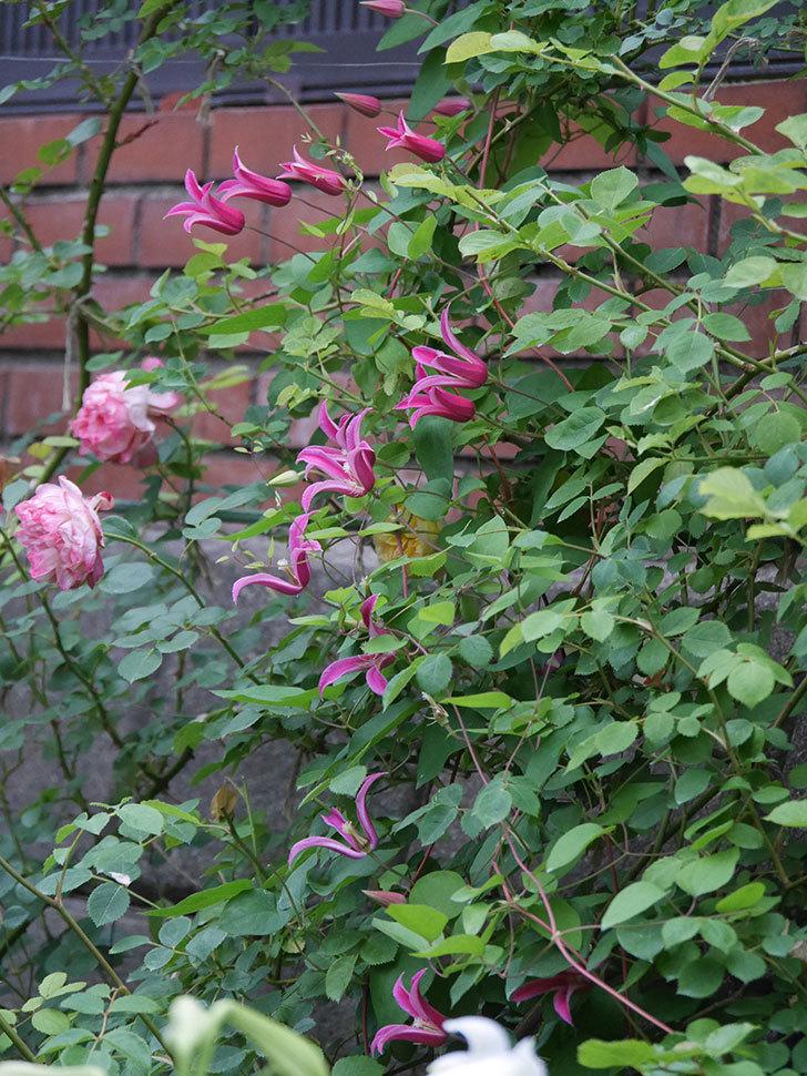 プリンセス・ダイアナ(テキセンシス系 新枝咲き)の花がまた増えてきた。2020年-011.jpg