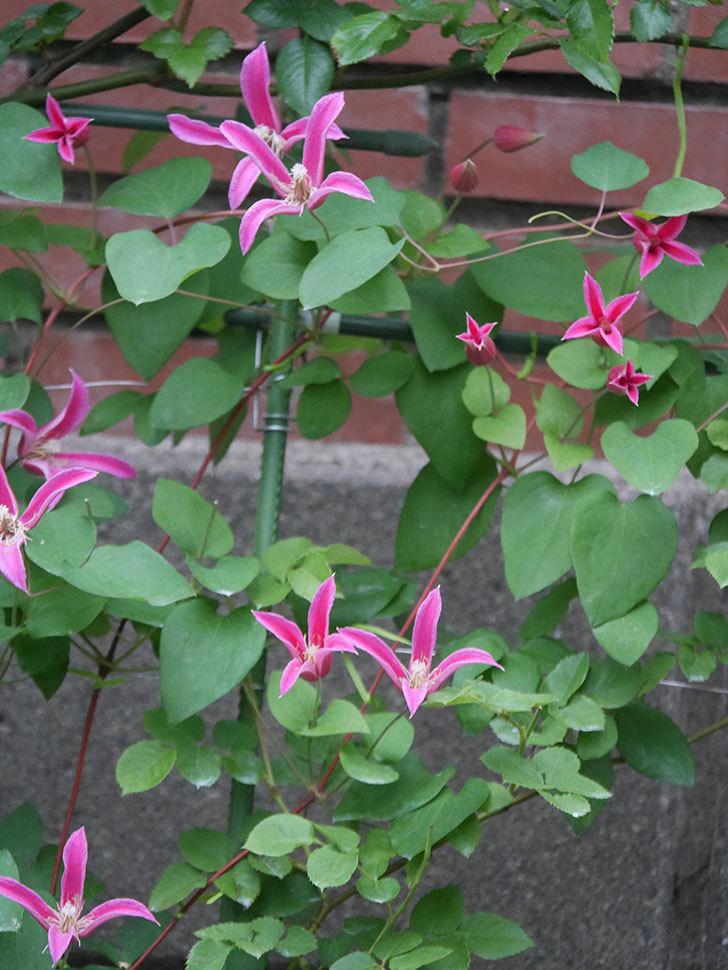 プリンセス・ダイアナ(テキセンシス系 新枝咲き)の花がまた増えてきた。2020年-013.jpg
