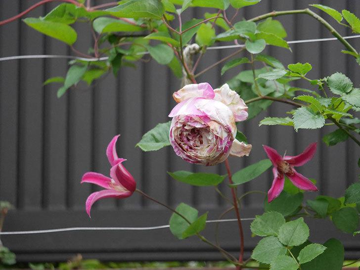 プリンセス・ダイアナ(テキセンシス系 新枝咲き)の花がまた増えてきた。2020年-015.jpg