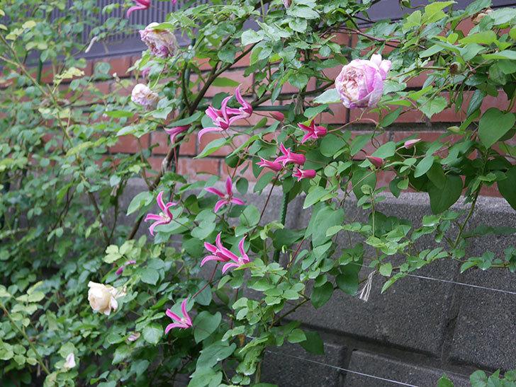 プリンセス・ダイアナ(テキセンシス系 新枝咲き)の花がまた増えてきた。2020年-028.jpg