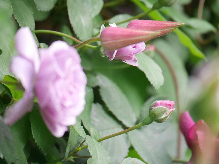 プリンセス・ダイアナ(テキセンシス系 新枝咲き)の花が咲いた。2021年-014.jpg