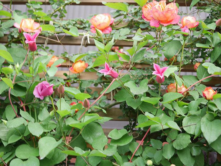 プリンセス・ダイアナ(テキセンシス系 新枝咲き)の花が咲いた。2021年-018.jpg