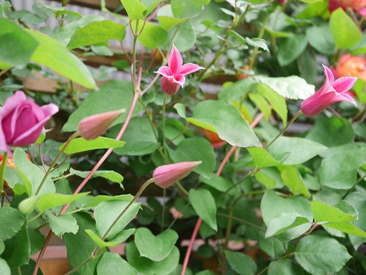 プリンセス・ダイアナ(テキセンシス系 新枝咲き)の花が咲いた。2021年-024.jpg