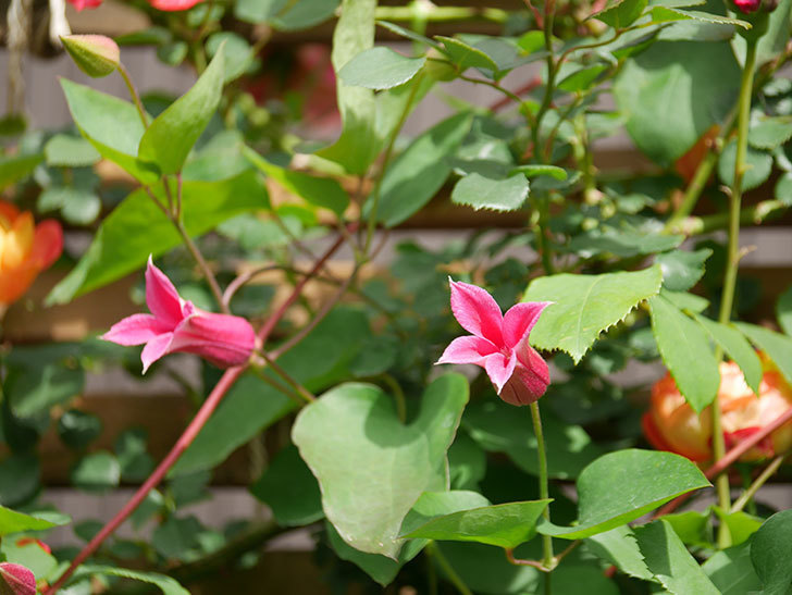プリンセス・ダイアナ(テキセンシス系 新枝咲き)の花が咲いた。2021年-027.jpg