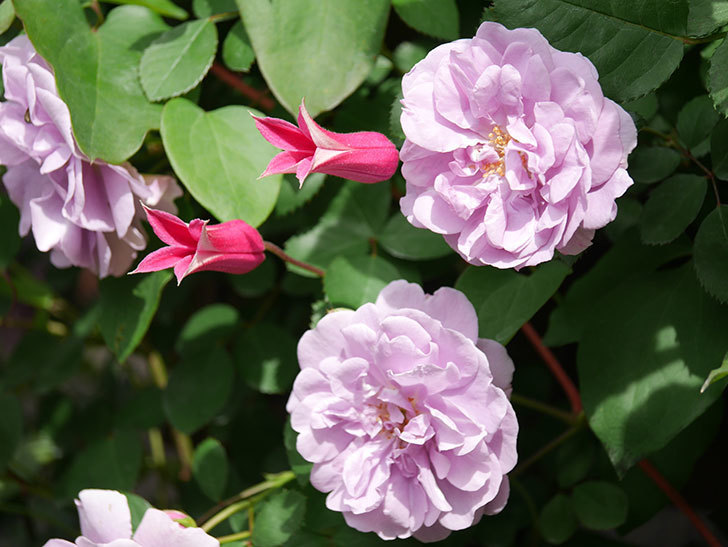 プリンセス・ダイアナ(テキセンシス系 新枝咲き)の花が咲いた。2021年-035.jpg