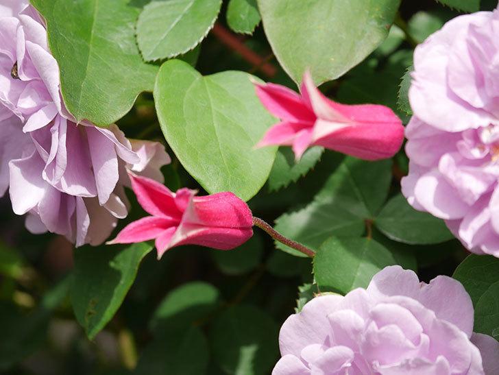 プリンセス・ダイアナ(テキセンシス系 新枝咲き)の花が咲いた。2021年-036.jpg