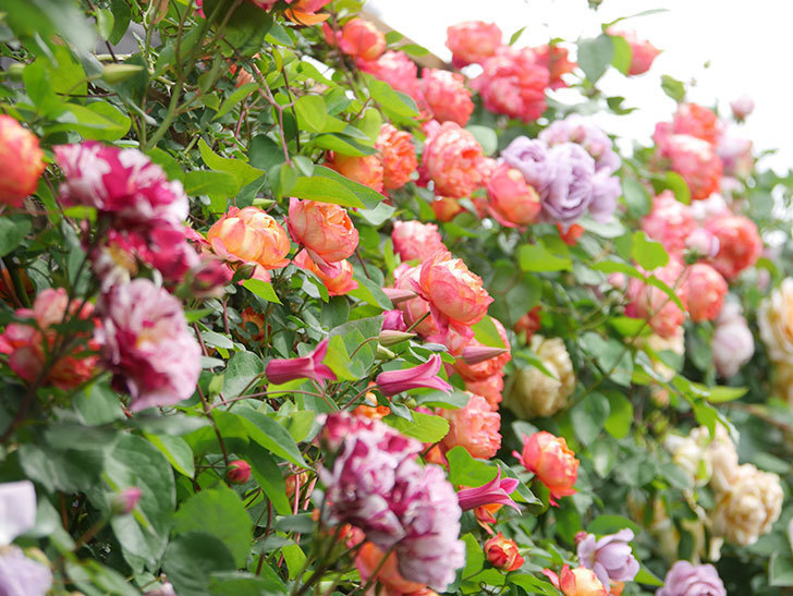 プリンセス・ダイアナ(テキセンシス系 新枝咲き)の花が咲いた。2021年-042.jpg