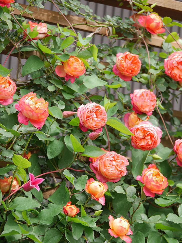 プリンセス・ダイアナ(テキセンシス系 新枝咲き)の花が咲いた。2021年-044.jpg