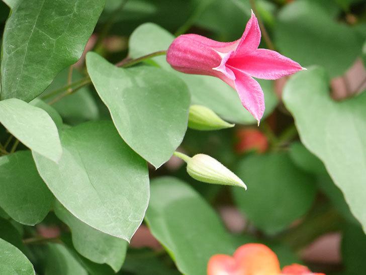 プリンセス・ダイアナ(テキセンシス系 新枝咲き)の花が咲いた。2021年-049.jpg