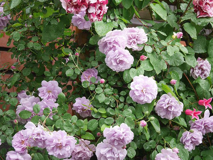 プリンセス・ダイアナ(テキセンシス系 新枝咲き)の花が増えてきた。2021年-002.jpg