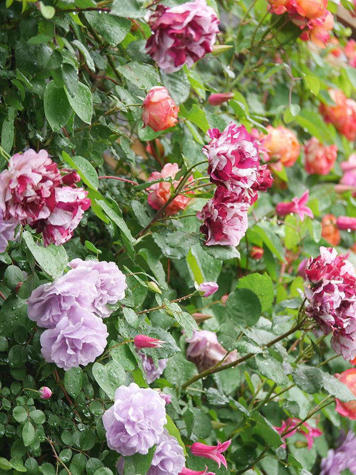 プリンセス・ダイアナ(テキセンシス系 新枝咲き)の花が増えてきた。2021年-003.jpg