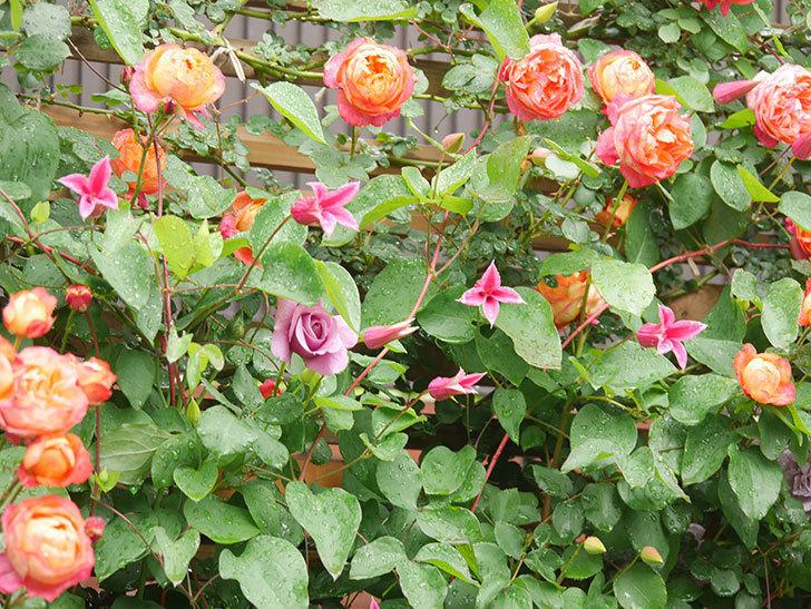 プリンセス・ダイアナ(テキセンシス系 新枝咲き)の花が増えてきた。2021年-004.jpg