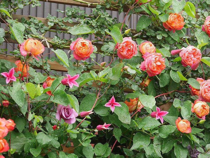 プリンセス・ダイアナ(テキセンシス系 新枝咲き)の花が増えてきた。2021年-005.jpg