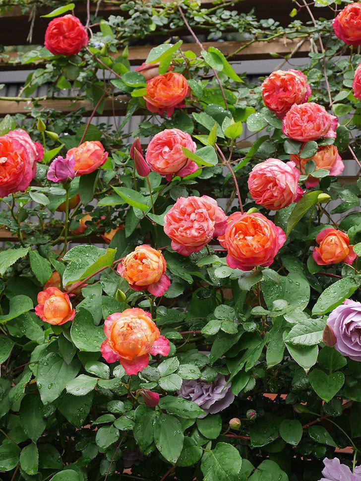 プリンセス・ダイアナ(テキセンシス系 新枝咲き)の花が増えてきた。2021年-006.jpg