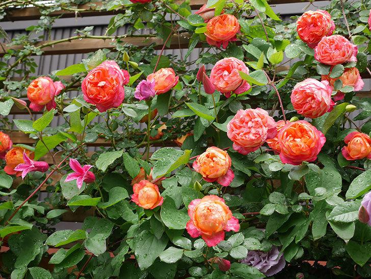 プリンセス・ダイアナ(テキセンシス系 新枝咲き)の花が増えてきた。2021年-007.jpg