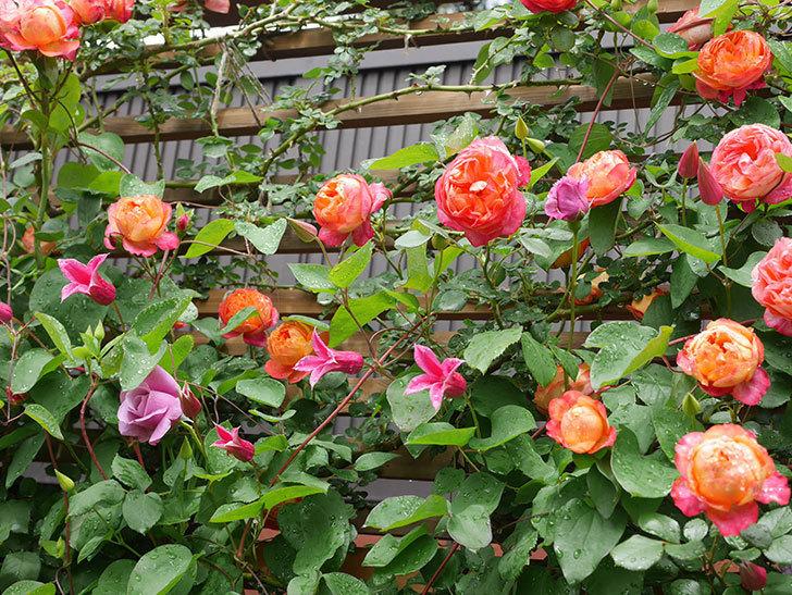 プリンセス・ダイアナ(テキセンシス系 新枝咲き)の花が増えてきた。2021年-008.jpg