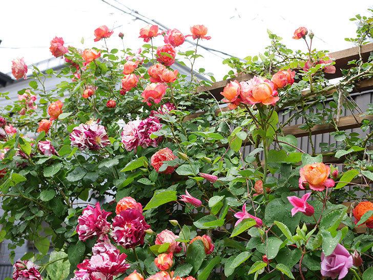プリンセス・ダイアナ(テキセンシス系 新枝咲き)の花が増えてきた。2021年-009.jpg