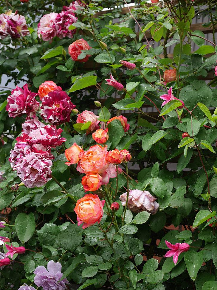プリンセス・ダイアナ(テキセンシス系 新枝咲き)の花が増えてきた。2021年-010.jpg