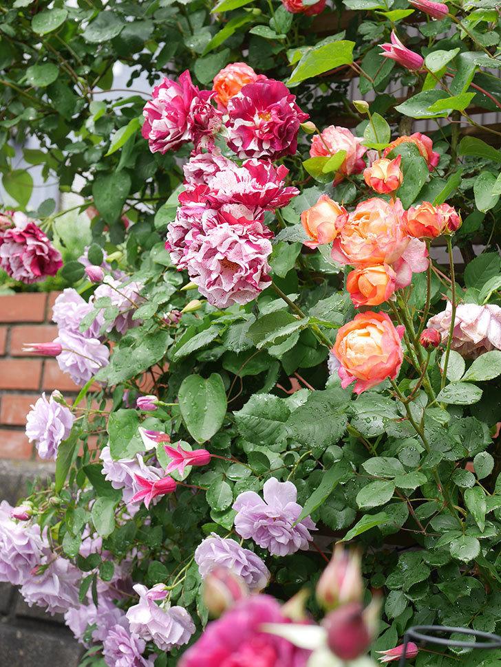 プリンセス・ダイアナ(テキセンシス系 新枝咲き)の花が増えてきた。2021年-011.jpg